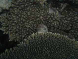 Plate Coral with Trochus shell