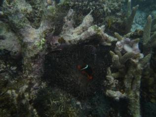 Anemone with tomato clown fish (Amphiprion frenatus)