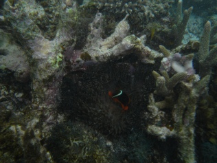 Anemone with tomato clown fish (Amphiprion frenatus)