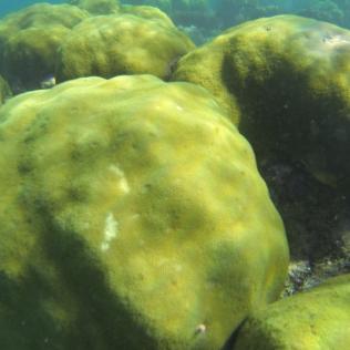 Massive hard coral (HCM)
