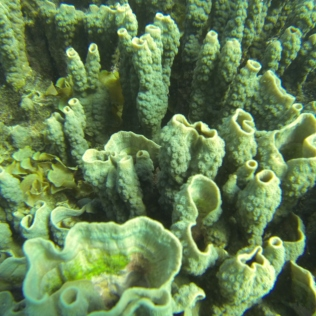 Foliose hard coral (HCF) with Labophora algae